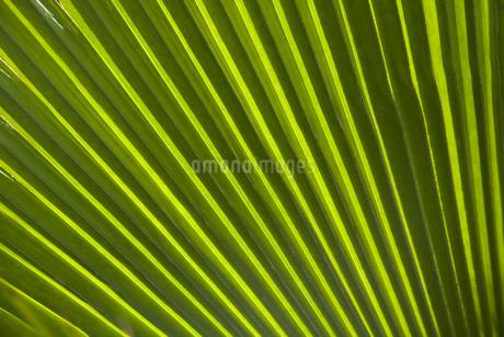 ヤシの葉の写真素材 [FYI01278465]