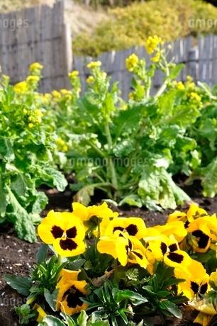 菜の花とパンジーの写真素材 [FYI01278768]