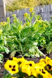 菜の花とパンジーの写真素材 [FYI01278796]