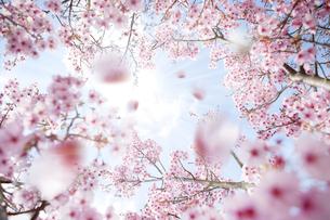 桜のコラージュの写真素材 [FYI01279861]