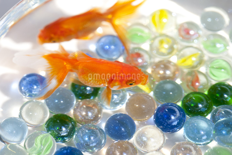 泳いでいる金魚とビー玉の写真素材 [FYI01280017]