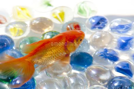 泳いでいる金魚とビー玉の写真素材 [FYI01280018]