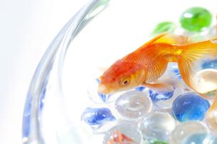 泳いでいる金魚とビー玉の写真素材 [FYI01280021]