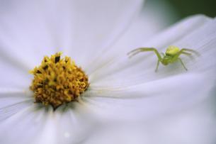 花にとまっているクモの写真素材 [FYI01280398]