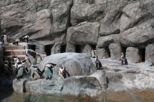 岩場を歩くペンギンの写真素材 [FYI01280410]
