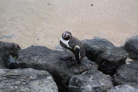 岩場を歩くペンギンの写真素材 [FYI01280436]