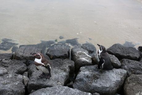 岩場を歩くペンギンの写真素材 [FYI01280461]