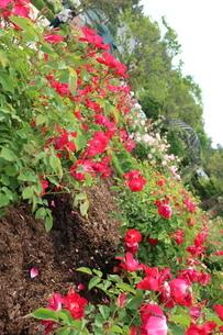 屋外で咲く赤いバラの花の写真素材 [FYI01280722]