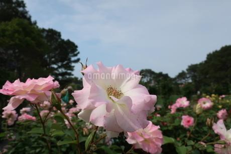 屋外で咲くうすピンク色のバラの花の写真素材 [FYI01280743]