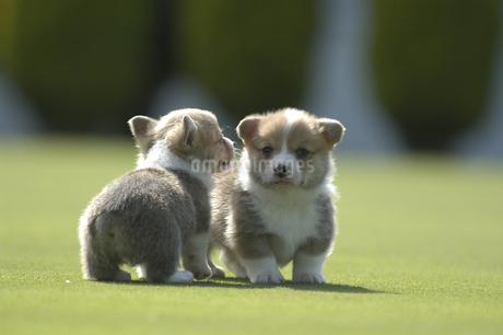 二匹の子犬の写真素材 [FYI01280746]