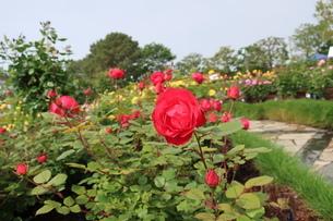 屋外で咲く赤いバラの花の写真素材 [FYI01280762]