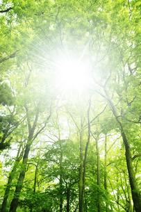 新緑の森林と木漏れ日の写真素材 [FYI01282842]