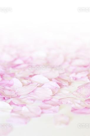 桜の花びらのアップの写真素材 [FYI01282874]