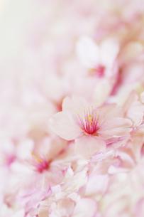 桜の花びらのアップの写真素材 [FYI01282876]