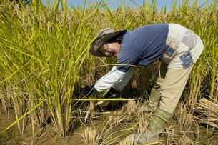 稲刈りする農家の女性の写真素材 [FYI01284531]