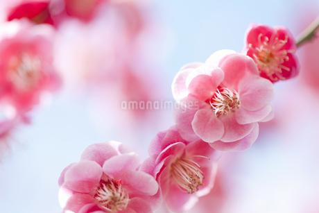 梅の写真素材 [FYI01287790]