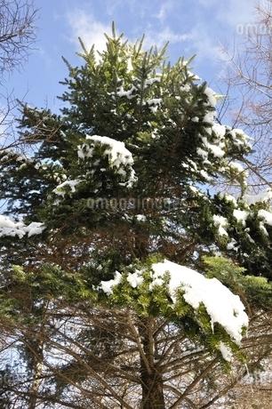 雪の積もった樹木の写真素材 [FYI01292505]