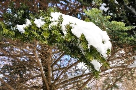 雪の積もった樹木の写真素材 [FYI01292506]