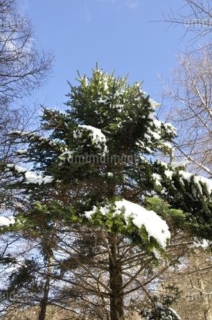 雪の積もった樹木の写真素材 [FYI01292507]
