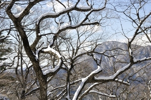 雪の木と御正体山の写真素材 [FYI01292538]