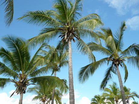 Hawaiiの青空とヤシの写真素材 [FYI01292549]