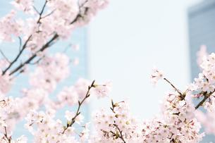 桜とビルの写真素材 [FYI01293920]