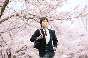 桜の木の下を走る男子学生の写真素材 [FYI01294219]