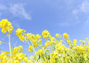 青空と菜の花の写真素材 [FYI01298345]