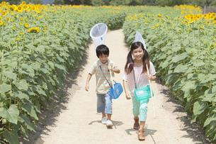 ひまわり畑で昆虫採集する姉弟の写真素材 [FYI01299885]