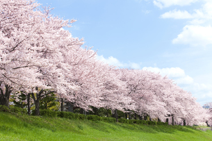 桜並木の写真素材 [FYI01304201]