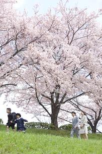 桜と4人家族の写真素材 [FYI01305377]