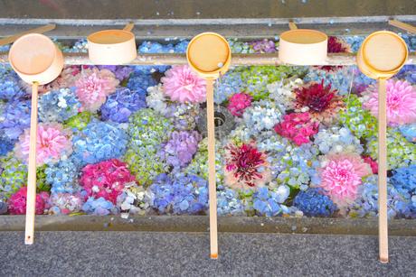 福岡県,春日神社のアジサイ手水舎の写真素材 [FYI01310969]