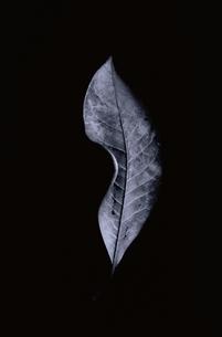 1枚の葉(B&W)の写真素材 [FYI01322006]