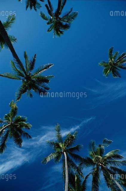 ヤシの木 空の写真素材 [FYI01322328]
