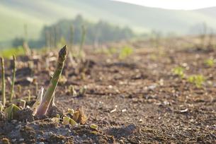 グリーンアスパラ畑の写真素材 [FYI01322568]
