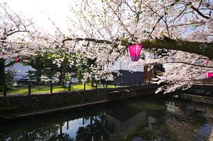 城崎温泉の桜と大谿川の写真素材 [FYI01323101]