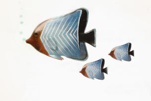熱帯魚の写真素材 [FYI01323153]