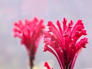サンゴバナの写真素材 [FYI01323318]