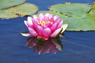 抜海霊園のハスの花の写真素材 [FYI01323440]