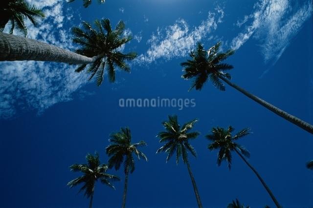 ヤシの木 空の写真素材 [FYI01323535]