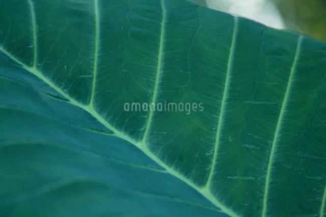 葉の表面の写真素材 [FYI01323685]