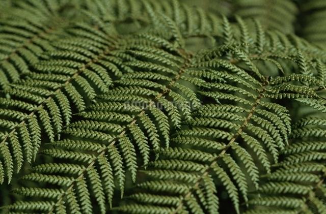 シダの葉の写真素材 [FYI01323724]