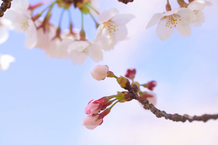 ソメイヨシノの写真素材 [FYI01324306]