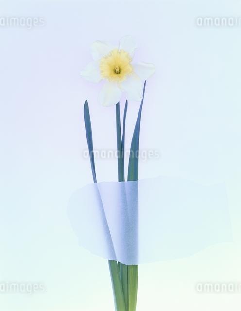 花1輪の写真素材 [FYI01324619]
