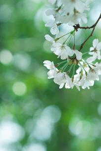新緑の中の桜の写真素材 [FYI01324960]
