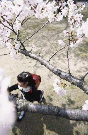 桜と小学生の写真素材 [FYI01325030]