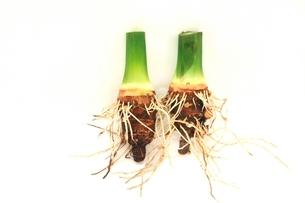 自然栽培のサトイモ(タケノコ芋)の写真素材 [FYI01325563]