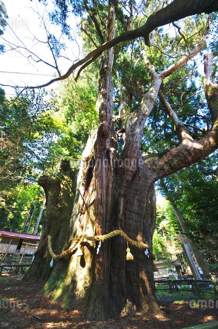 杉の大杉の写真素材 [FYI01326818]