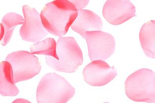 薔薇の花びらの写真素材 [FYI01327091]