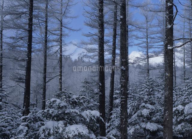 落葉松林の写真素材 [FYI01327546]